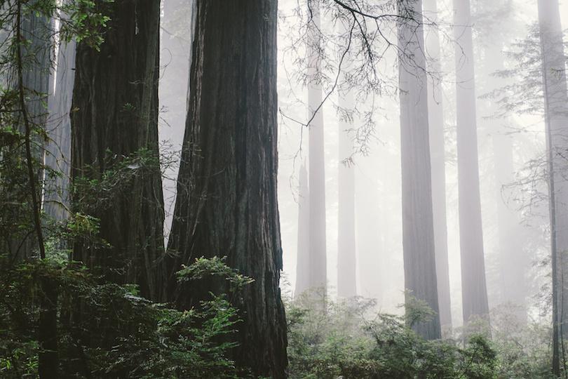北海岸有雾的红木森林