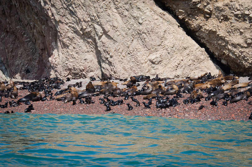 Seal on Ballestas Islands, Paracas. Peru