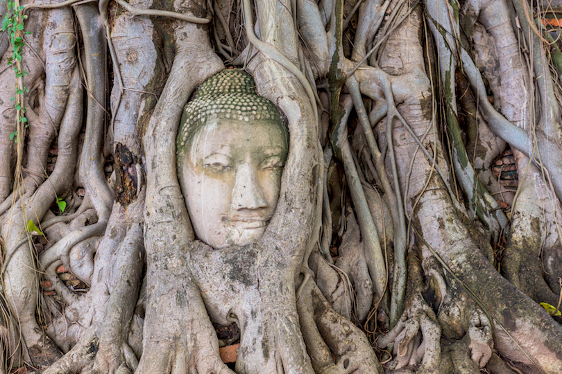 扫管Mah玛哈泰寺,大城府,泰国佛头在榕树的根