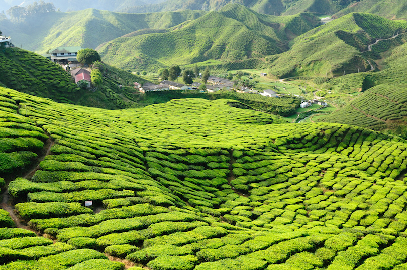 马来西亚,金马仑高原,茶园