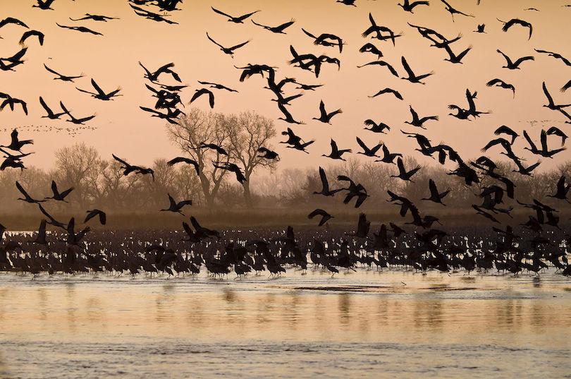 Migración de grullas grises